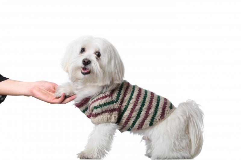 -bichon-puppy-saying-hi